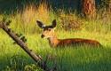 deer-loghill
